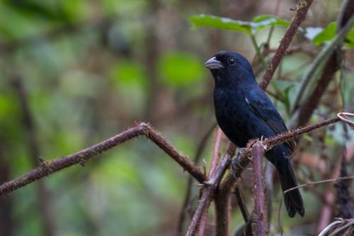 Blackish-blue Seedeater