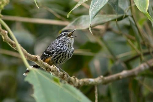 Ochre-rumped Antbird