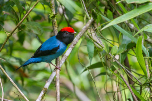 Swallow-taled Manakin