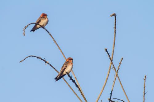 Tawny-headed Swallow